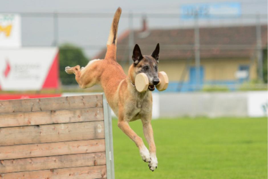 Auch fünf österreichische Teams aus Hundeführer und Hund gehen bei der Hunde-WM an den Start.