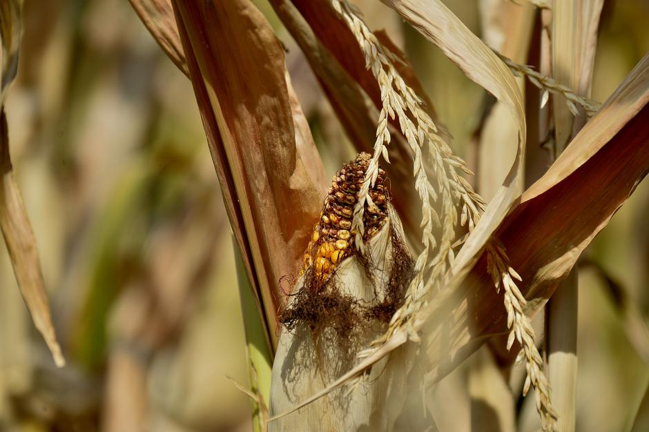 Mais auf einem von Trockenheit und Dürre betroffenen Feld in Traismauer in Niederösterrech. (Symbolfoto)