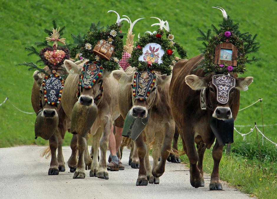 Almabtrieb am Weerberg: Die festlich geschmückten Tiere stehen für das Ende einer erfolgreichen und unfallfreien Almsaison.