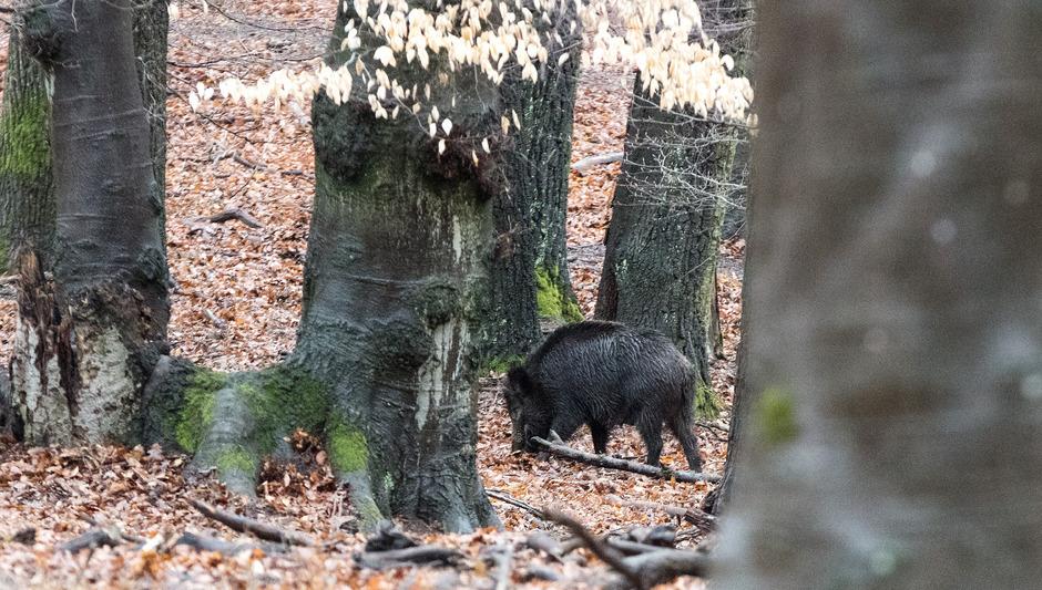 Ein Wildschwein im Lainzer Tiergarten.