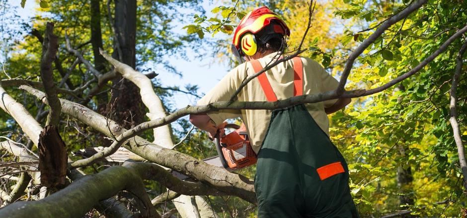 Stämme und Äste stehen nach Windwürfen oft unter Spannung – eine Gefahr für den Forstarbeiter.