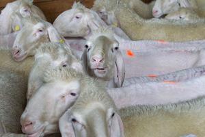 Die Schafe blicken neugierig der Rasur entgegen.