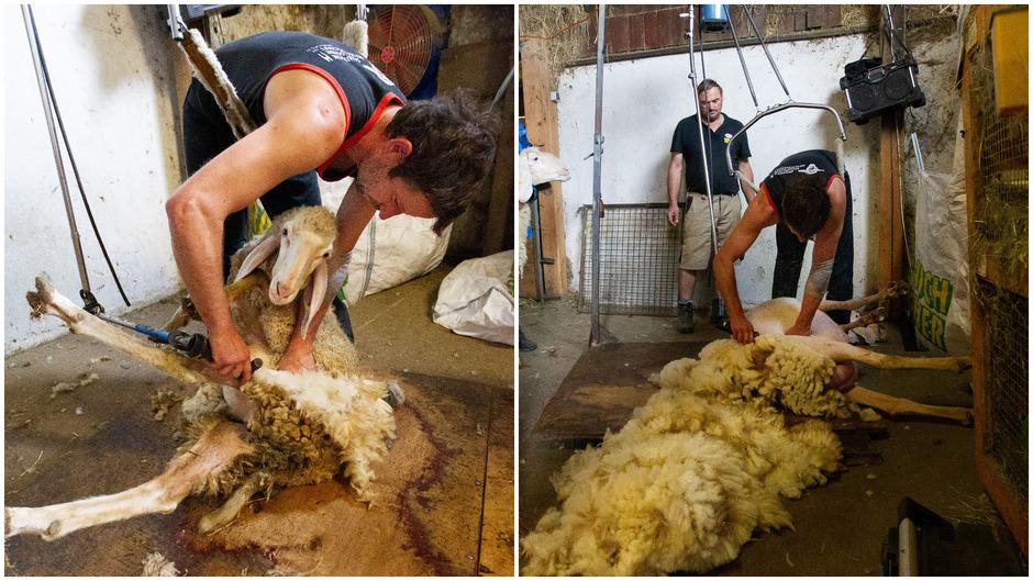 Felix Riedel setzt die Schafe vor sich hin. Er hat eine eigene Apparatur, die das Kreuz entlastet. Er befreit das Schaf von der Wolle, so wie man ihm einen Pyjama auszieht.