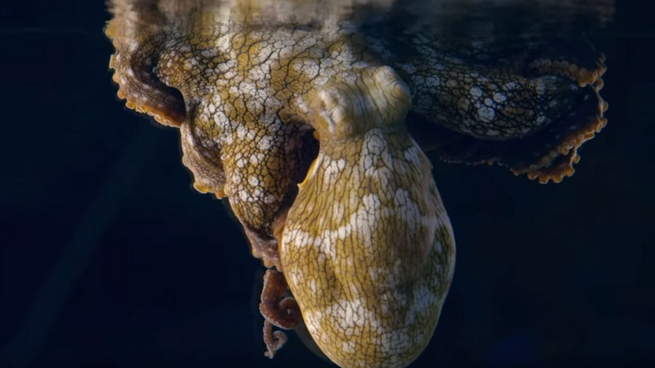 Eine in einem Aquarium schlafende Oktopus-Dame verzaubert derzeit die Netzgemeinde.