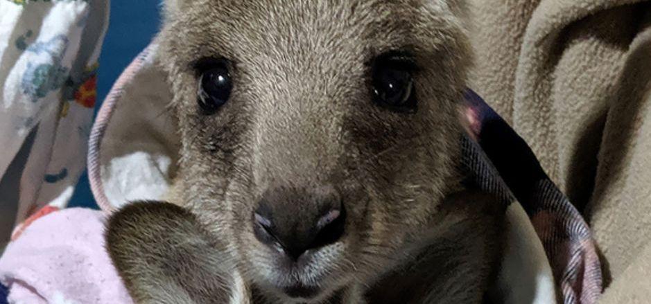 Ein 20-Jähriger hat 20 Kängurus mit seinem Auto überfahren. Tierschützer konnten den Nachwuchs der getöteten Tiere retten.