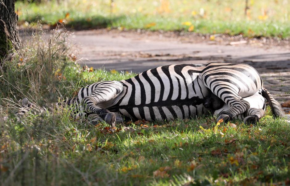 """Zebra """"Pumba"""" wurde von der Polizei erschossen."""