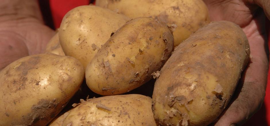 Laut AGES ist auch die Eigenversorgung mit Kartoffeln in Gefahr.