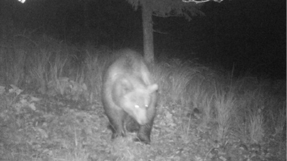 In Tirol ist wieder ein Bär gesichtet worden, dieses Mal im Außerfern. Laut Bezirksjägermeister Arnold Klotz handelt es sich um einen scheuen Bären.