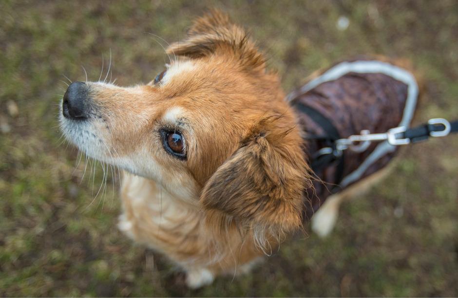 Treuherzig hin oder her: Wer mit Hunden an öffentlichen Orten innerhalb geschlossener Ortschaften unterwegs ist, braucht Leine oder Beißkorb.