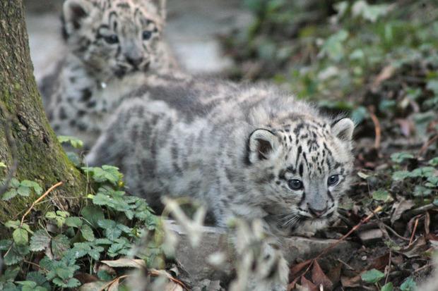 Die zwei Raubkatzen kamen im August zur Welt.