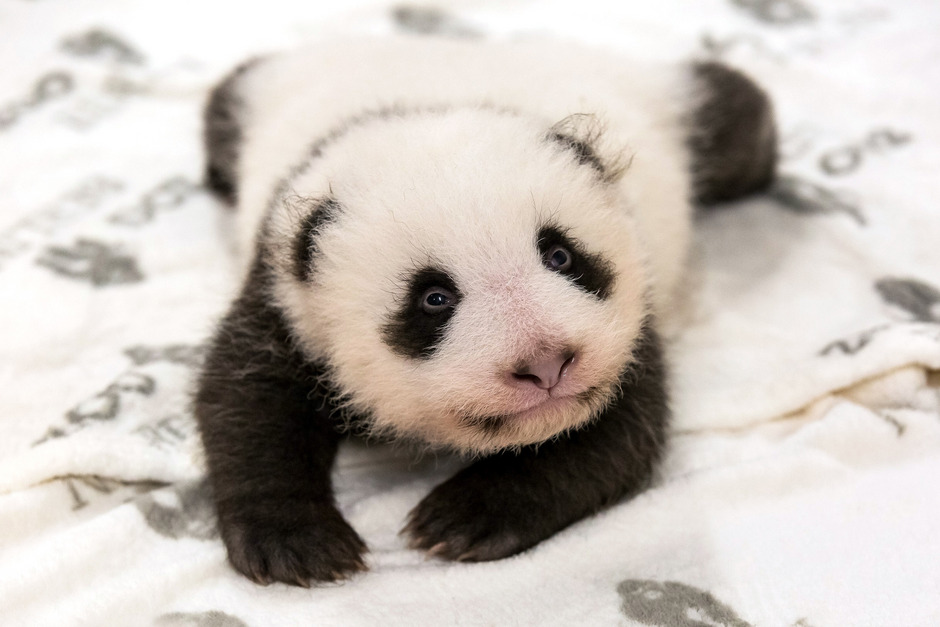 Eines der beiden Panda-Jungtiere im Zoo Berlin erkundet sein neues Bettchen.