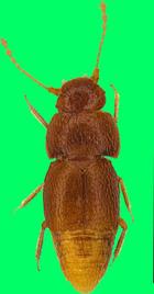 """Nelloptodes gretae"""" wurde in den 1960er-Jahren entdeckt und hatte bis jetzt keinen Namen."""