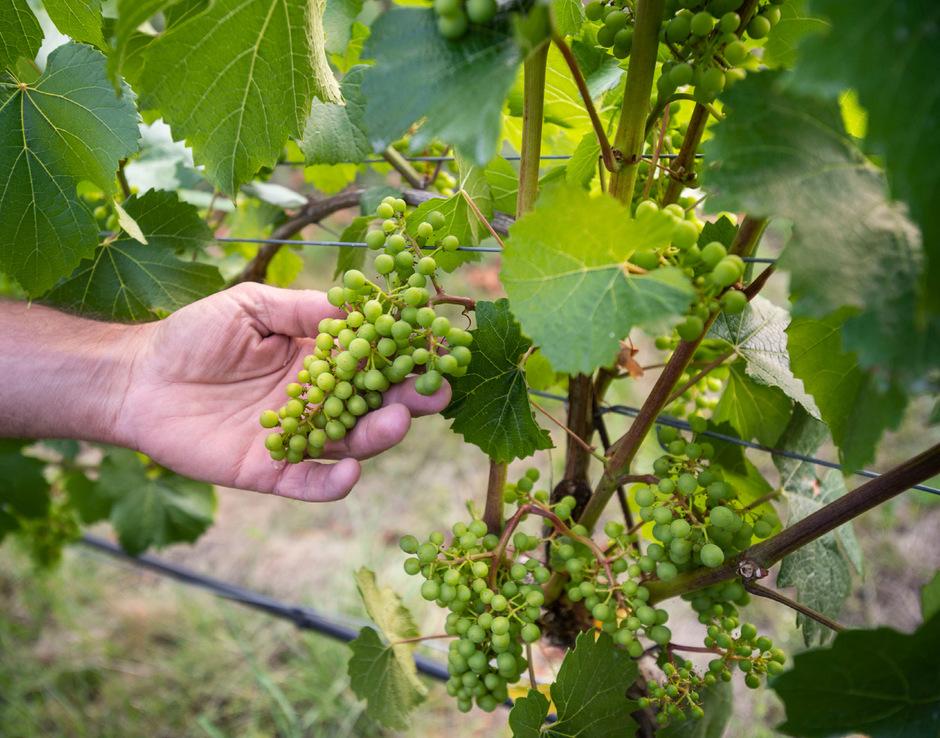 """Wenn verfügbar, wird bei Landesveranstaltungen künftig Tiroler Wein ausgeschenkt werden. Langfristig soll eine """"Qualität-Tirol-Weinlinie"""" geschaffen werden, welche durch das Agrarmarketing beworben wird."""