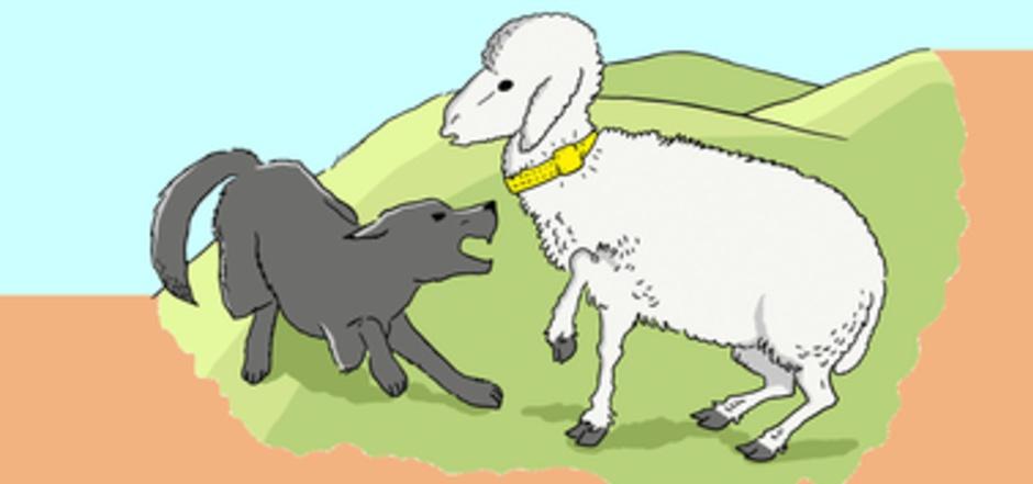 Die Erfindung soll so funktionieren: Das Band wird am Hals des Schafes angebracht