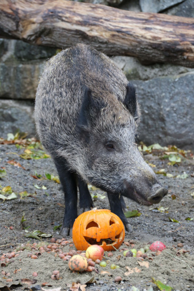 Wildschweine sind Allesfresser. Sie machten mit den Kürbissen kurzen Prozess.