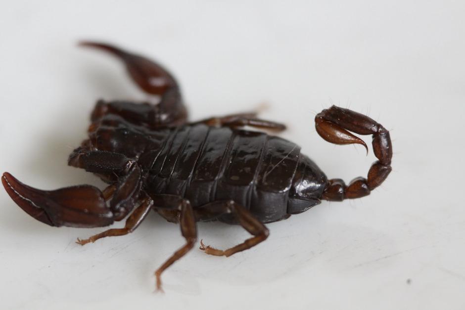 Der Deutsche Skorpion ist die am nördlichsten verbreitete Skorpionart, er wird bis zu drei Zentimeter lang.