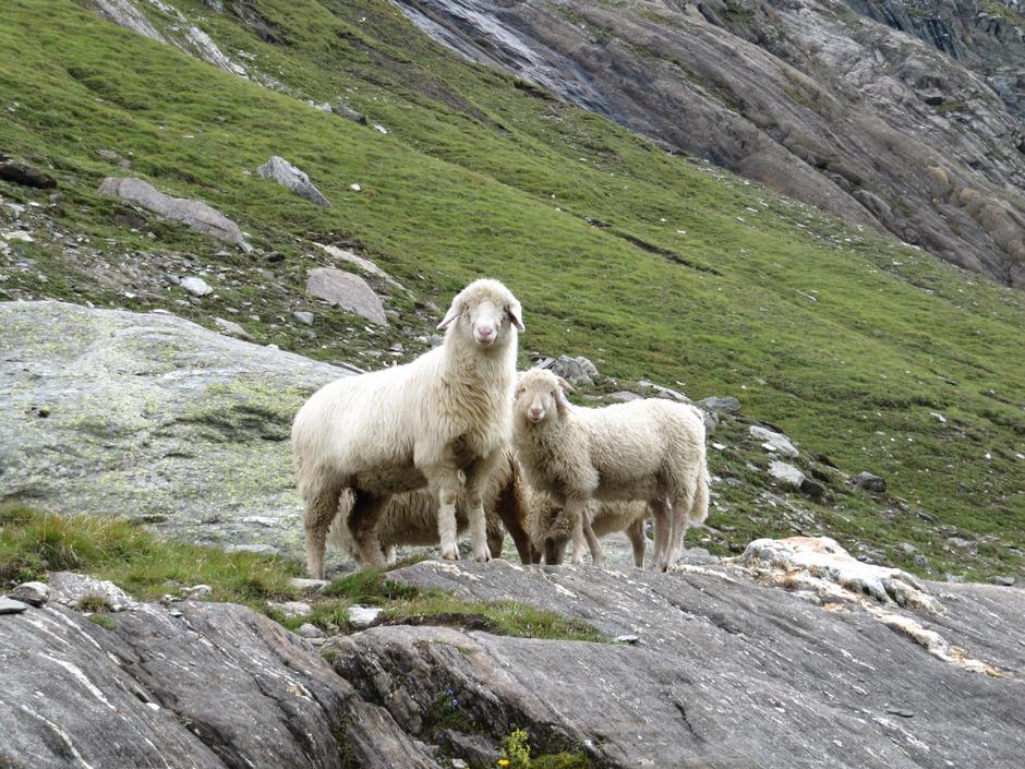 Wer Schafe und andere Tiere hält, muss sich entsprechend um sie kümmern. Ein Osttiroler Landwirt hat das nicht getan, lauten die Vorwürfe, für die sich der Mann vor Gericht verantworten muss.