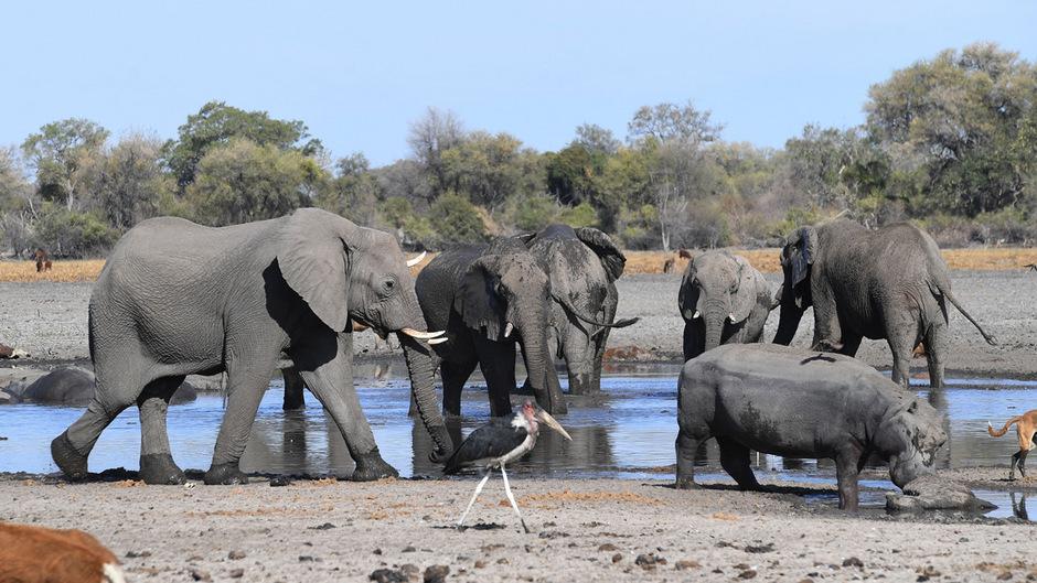 Afrikanische Elefanten in freier Wildbahn. (Symbolfoto)