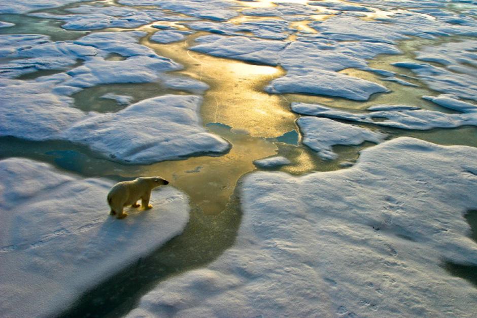 Eisbären gelten als eine der großen Verlierer des Klimawandels, weil ihr Lebensraum nach und nach zerstört wird.